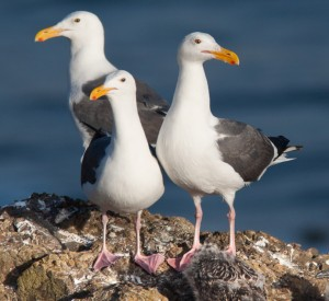 Western Gulls by Ron LeValley