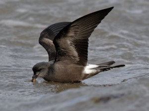 Leach's Storm-Petrel by Steven Round