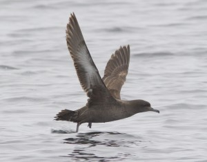Sooty Shearwater by Ron LeValley