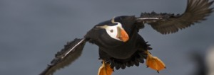 Tufted Puffin by Ron LeValley