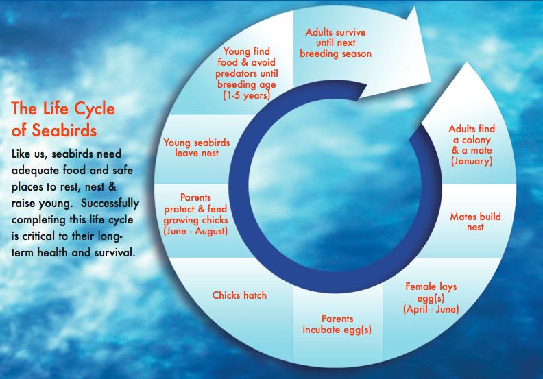 The Lifecycle of Seabirds