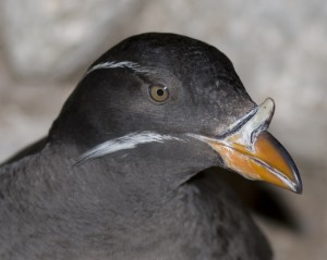 Rhinoceros Auklet by Ron LeValley