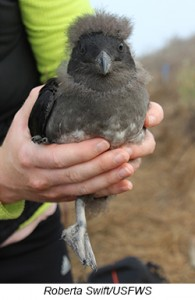 Rhinoceros Auklet chick, Photo by Roberta Swift, USFWS