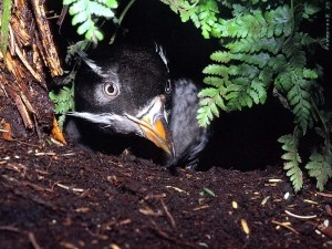 Rhinoceros Auklet adult peeking out of burrow, Photo by N. Konyukho, USFWS