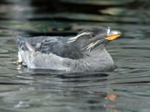 Rhinoceros Auklet adult on water, Photo by USFWS Pacific Region