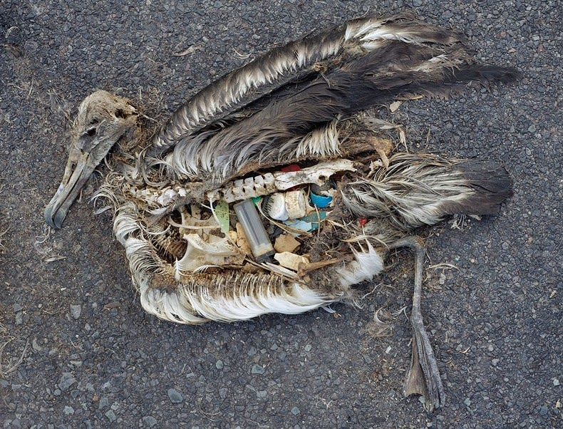 Albatross chick with plastic at Midway Atoll, Chris Jordan