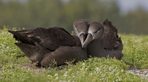 Black-footed Albatross Pair, Dan Clark, USFWS